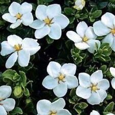 2 x STARLIGHT Gardenia sweet perfumed single white flowers plants in 70mm pots