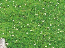 10000 seeds Pearlworts, Irish moss, Sagina subulata, Stermmmoss, Sagine