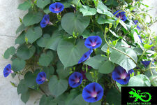 Semi Ipomea Morning Glory campanella rampicante blu 30 seeds IPOMEA BLUE