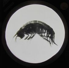 Glass Magic Lantern Slide POND LIFE - FRESH WATER SHRIMP C1900 MICROSCOPE PHOTO