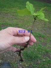 WHITE OAK STARTER SEEDLINGS QTY-15 SHIPPED FREE SHIPS RESERVED LATE SPRING 2017