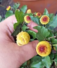 TOOTHACHE  EYEBALL PLANT BUZZ BUTTONS Spilanthes Oleracea Flower 50 Seeds