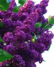 25 Dark Purple Lilac Seeds Tree Fragrant Hardy Perennial Flower Shrub Garden 592
