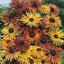 30+ Rudbeckia Chim Chiminee Flower Seeds / Perennial