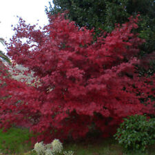Rare 'Fireglow' Japanese Maple Tree Seeds. Acer palmatum. 25 Seeds.