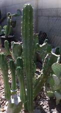 """San Pedro Cactus Cutting 20"""""""