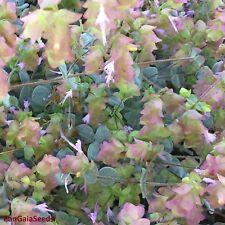 Origanum dictamnus 100 ORGANIC Seeds Dictamnus creticus Dittany Cretan Herb