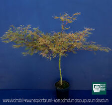 ACER PALMATUM ''DISSECTUM ATROPURPUREUM''v18 prostrato innesto alto plant pianta