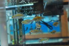 Congo Tetra - Phenacogrammus interruptus - Live Tropical Fish