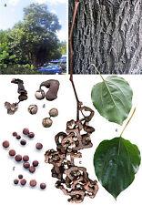 25 Japanese Raisin Tree Edible Fruit Oriental Honey Flowers Hovenia Dulcis Seeds