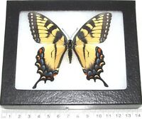 REAL FRAMED BUTTERFLY BLUE YELLOW BLACK TIGER SWALLOWTAIL PAPILIO GLAUCUS FEMALE