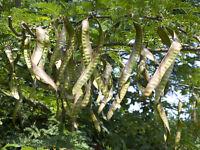 ** GLEDITSCHIE winterhart Pflanzen Samen exotische Saatgut Zierpflanze Strauch