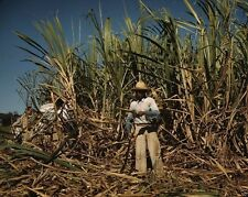 Sugar cane worker in a field near Guanica Puerto Rico 1942 New 8x10 Photo