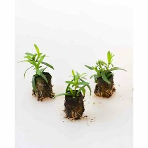 Kräuterpflanzen - Estragon / Pfefferkorn / Artemisia dracunculus - 3 Pflanzen