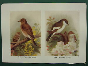 VINTAGE BIRD PRINT ~ SPOTTED FLYCATCHER ~ PIED FLYCATCHER