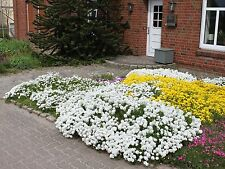 0.5g (appr. 160) evergreen candytuft seeds SNOWFLAKE WHITE ground cover, rockery
