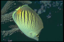 209068 Dot and dash Butterfly Fish A4 Photo Print