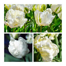 Tulip esotico IMPERATORE-Doppio presto-Bianco Fiori primavera Bulbi