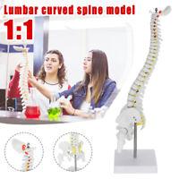 450mm Wirbelsäule und Nerven Becken Anatomiemodell Skelettmodel Anatomisches