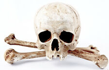 Human male skull replica - REAL SIZE, BRAND NEW (No.3) + Humerus bone set
