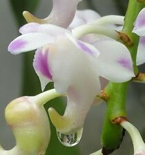 100x Aerides odorata Orchids seeds orchid - - Seeds B599