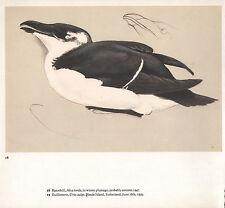 BEAUTIFUL VINTAGE BIRD PRINT ~ RAZORBILL IN WINTER PLUMMAGE ~ TUNNICLIFFE