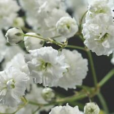 Gypsophila Double White Seed x30 Perennial Lovely Full Flowers Cut or Dried