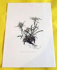 ANCIENNE PLANCHE BOTANIQUE N°152 EDELWEISS. (FL1)