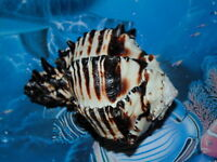 "4"" to 5"" BLACK MUREX  SEA SHELL NAUTICAL BEACH DECOR TROPICAL AQUARIUM  CRAFT"