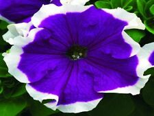 1,000 Pelleted Petunia Seeds Frost Blue BULK SEEDS
