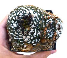 10 Ariocarpus kotschoubeyanus var. sladkovskyi SEMI CACTUS SEEDSKORN SEMILLAS