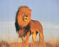 Wall Decoration African Lion King Wild Animal Wildlife Art Print Poster (16x20)
