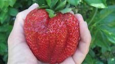 100Pcs Giant Strawberry Seeds Viable Tasty Fruits Garden Plants🍓🍓🍓🍓🍓