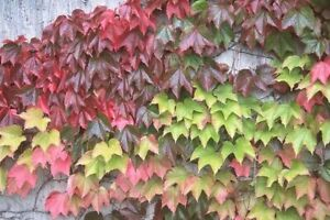 "Boston Ivy-Parthenocissus Tricuspidata ""Vetchi"", Buy 1 Plant w/FREE SHIPPING"