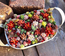 200 PCS Mix Lithops Seeds Living Stone Flower Seeds Succulent Plant Garden Decor