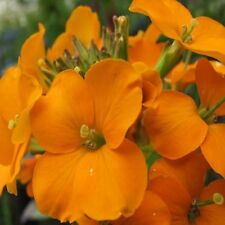 Fairy Flower Seeds, Wallflower Orange Bedder Approx 500 1g seeds, Biennials