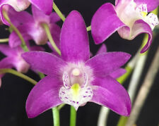 Dendrobium Australian Macbride x Lawrose 'Electric Musk' 50mm potted Orchid