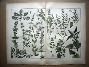 30...planche..botanique..plantes..fleurs...1872