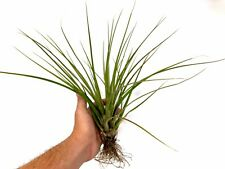 Extra Large Tillandsia Tricolor Air Plant FREE SHIPPING!
