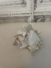 """More details for murex ramosus sea shell natural collectors aquarium 5.5"""""""