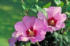 HIBISCUS SYRIACUS - Aphrodite - 50 seeds