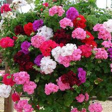 50 Geranium Flower Seeds Mixed Pelargonium Plant Colorful Decor for Garden Home