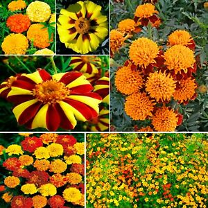 Seeds Marigolds Mexican French Cool Mix Tagetes Yellow Dwarf Indoor Pot Flower