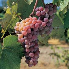 1 CANADICE Seedless Grape Vine Plant * 2 Year Organic Grown * SWEET RED FRUIT