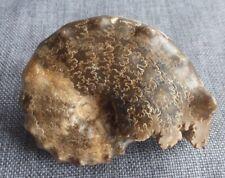 ammonites Mammites nodosoides turonien maroc