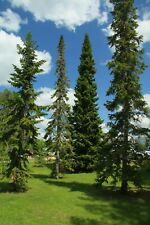 Balsam Fir   Abies balsamea   10 Seeds   (Free Shipping)