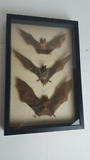 Taxidermy 3 Different Real mummified Bats in Black Shadowbox Frame