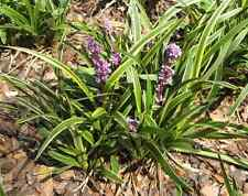 Liriope muscari 'John Burch' 12 Plants in 3-1/2 inch Pots Free Shipping