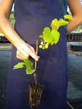 VITIS LABRUSCA cv NIAGARA alveolo 1 pianta Uva fragola bianca
