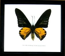Real Giant Butterfly Golden Birdwing Insect Display Taxidermy in Wood Frame Gift